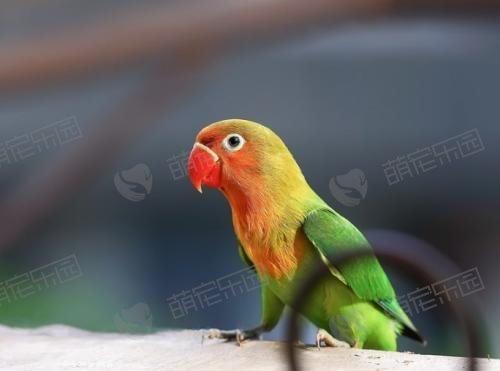 牡丹鹦鹉可以学会说话吗?